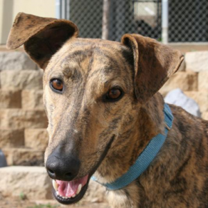 Frodo is a young brindle male rescued from Kansas (Photo courtesy of Greyhound Adoption Center)