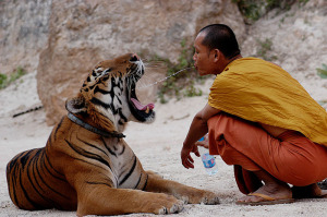 Budihist monk sharing water with a tiger to finding meaning in your work
