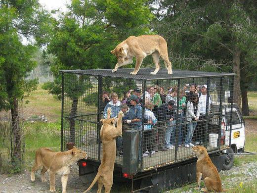 People in a caged truck surrounded by a pride of lions representing stress and working together