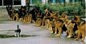 Cat walking in front of a pack of German Shepard doges show courage
